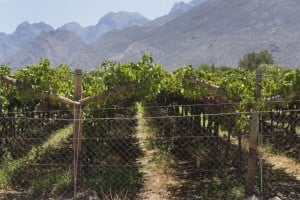 A vineyard of table grapes in De Doorns, a small farming town about 140 km North of Cape Town in January 2013. Photo: AFP/Rodger Bosch