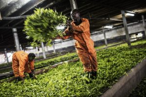 A worker offloads harvested tea leaves at the Makandi Tea Estate factory in April 2015 in Thyolo, southern Malawi. Tobacco and tea are among of Malawi's main exports. Photo: AFP/GIANLUIGI GUERCIA