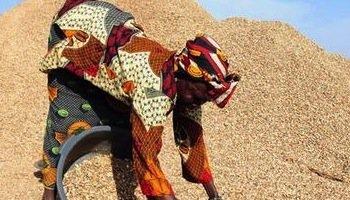 L'arachide occupe une bonne partie de la mian d'oeuvre agricole au Sénégal. Photo AFP.
