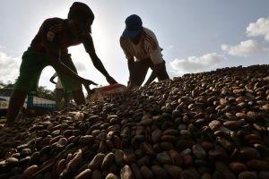 Des travailleurs en train de remplir des sacs avec du cacao, en octobre 2016, à Guiglo, en Côte d'Ivoire. Photo AFP.