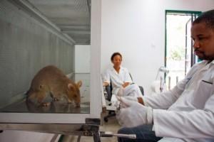 Un technicien de l'Université Eduardo Mondlane de Maputo, au Mozambique, a inoculé chez un rat géant des crachats humains pour voir s'il est infecté par la tuberculose. Photo AFP